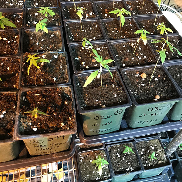 One of our wholesale CBD products, Hemp babies ready to plant and grow outside.