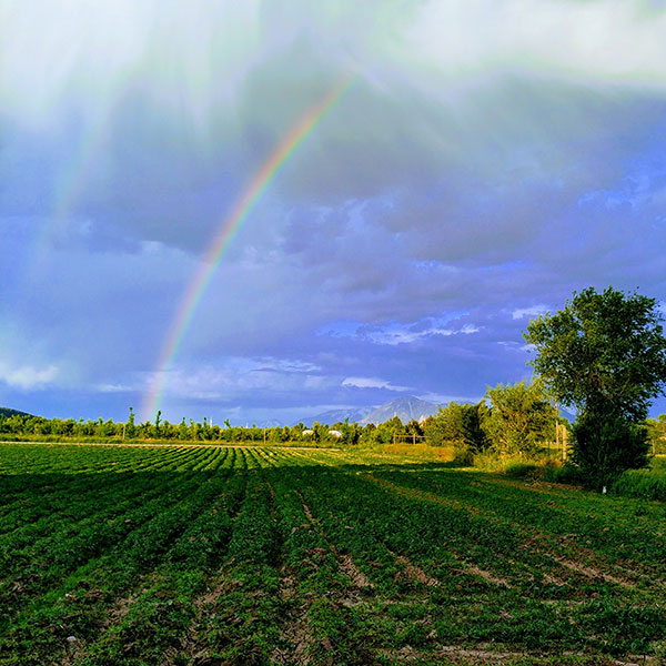 Rainbow and field of young hemp.