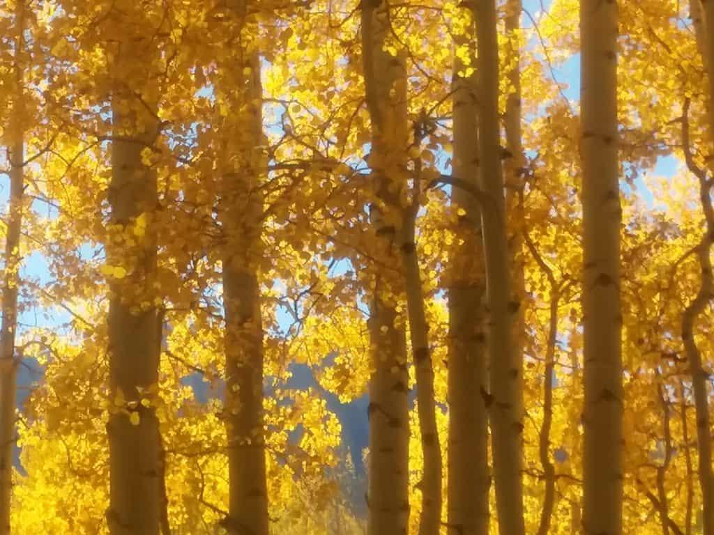 Golden Aspens in Colorado near the hemp fields of Mountain Flower Botanicals, growers of CBD honey.