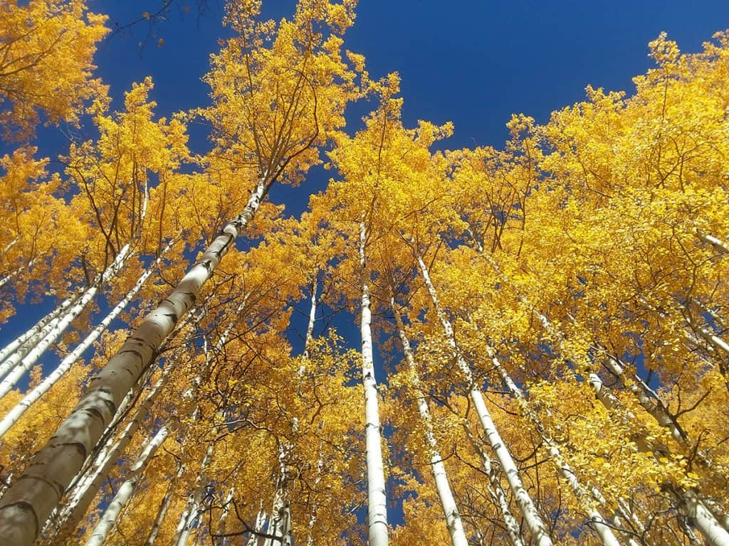 Aspens looking up to the sky close to Mountain Flower Botanicals, grower and maker of high CBD drink spiker.