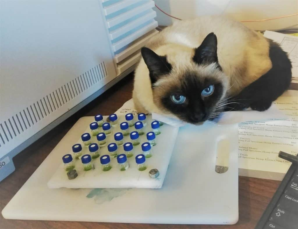 A very calm pet cat in the laboratory at Mountain Flower Botanicals. Our CBD for pets is made with salmon oil.