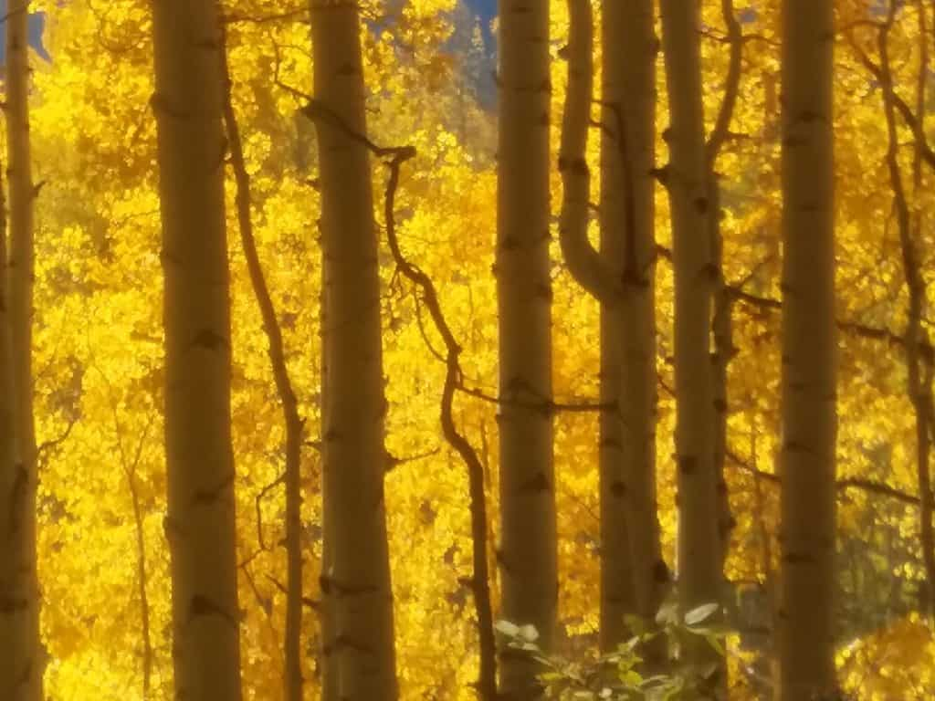Aspens in Autumn sunlight in Colorado near the Mountain Flower Botanicals, growers of high CBD seeds and clones.
