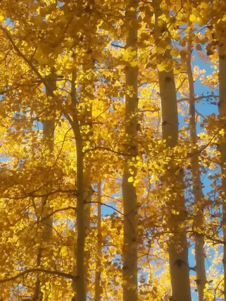 Aspens in fall foliage