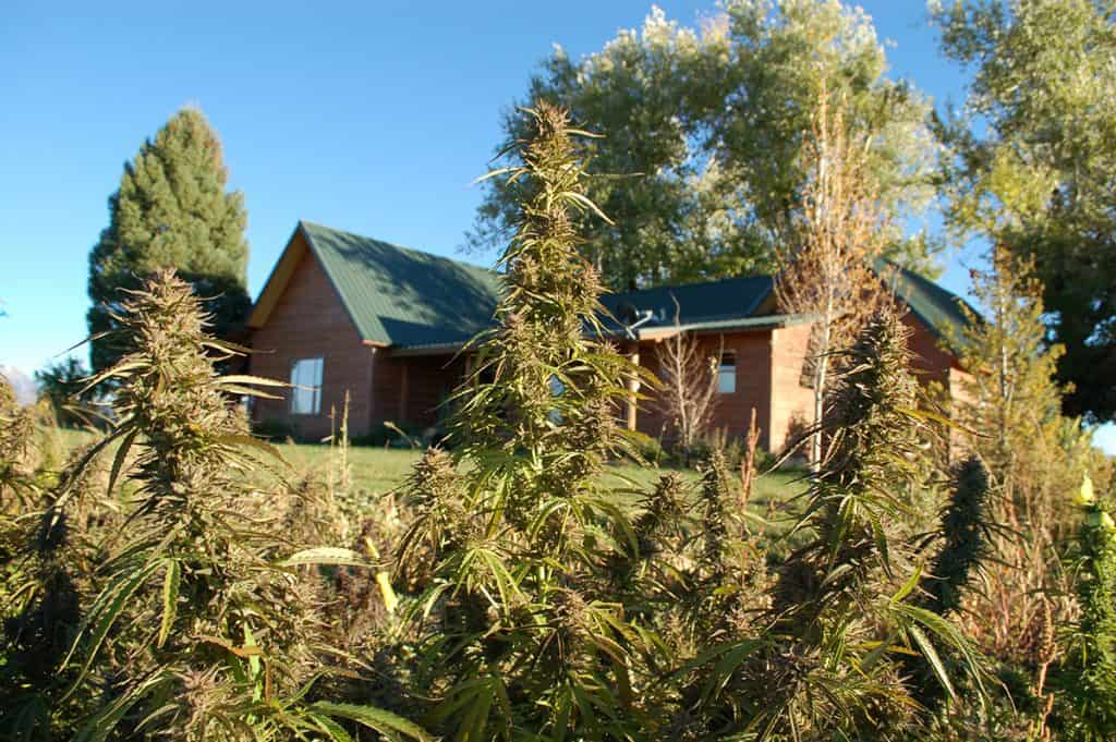Hemp growing at the back of the house in Colorado