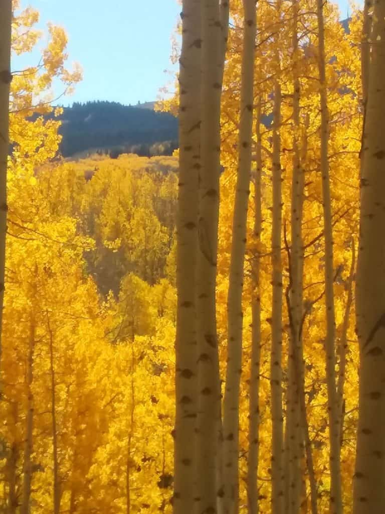 Aspens in fall foliage, solid gold with white bark